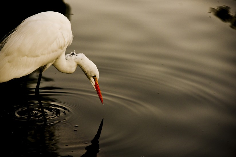 Great White Egret drinking water from a lake