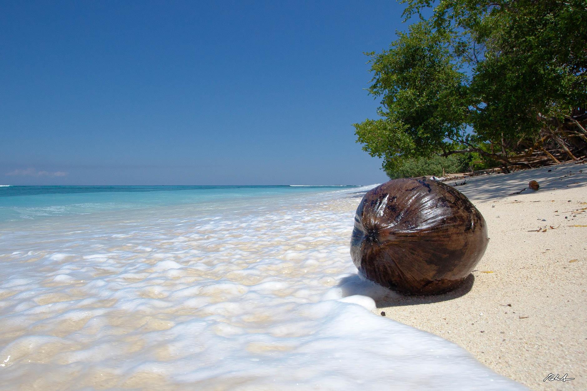 fallen coconut