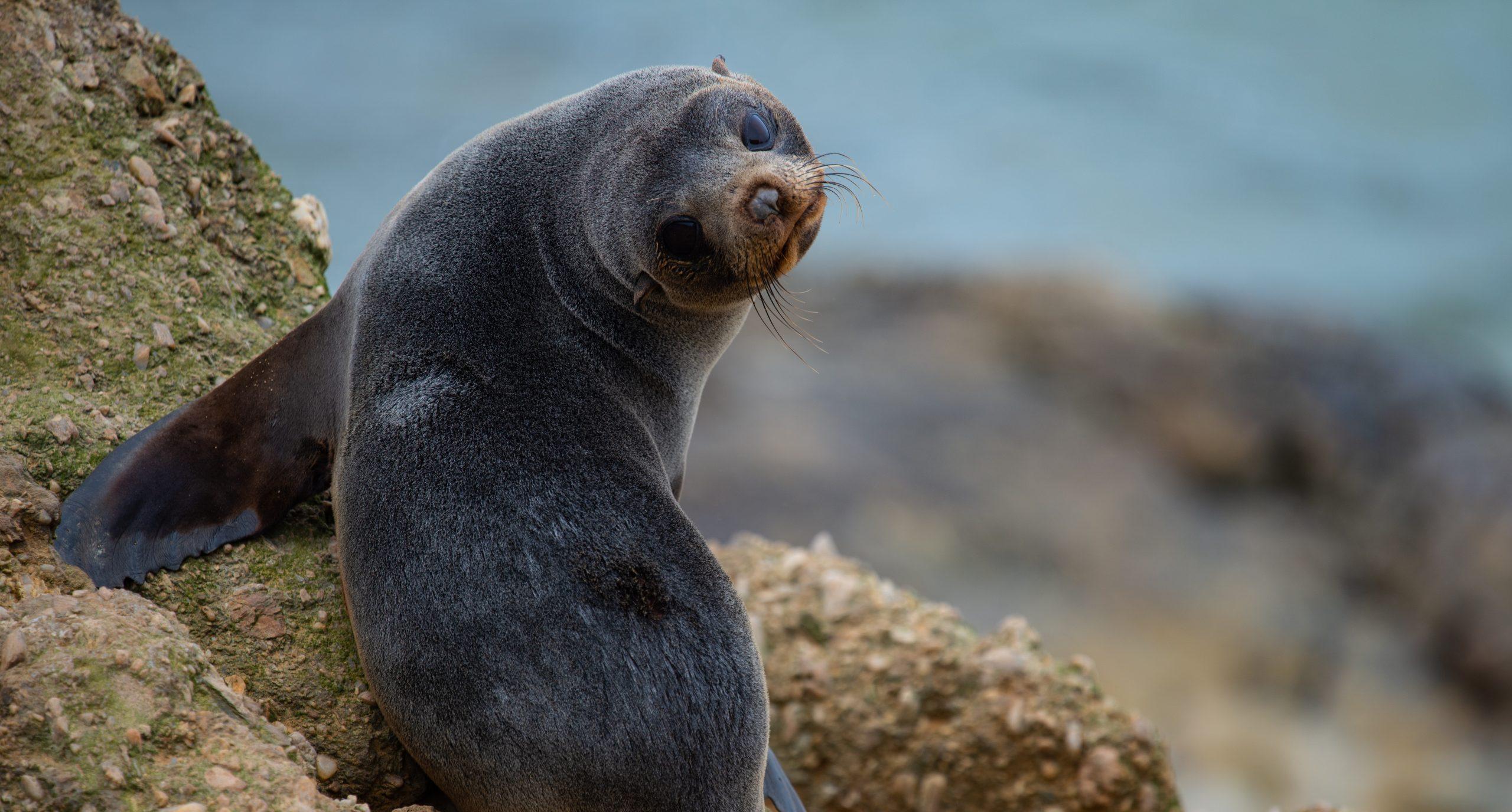 New-Zealand-fur-seal